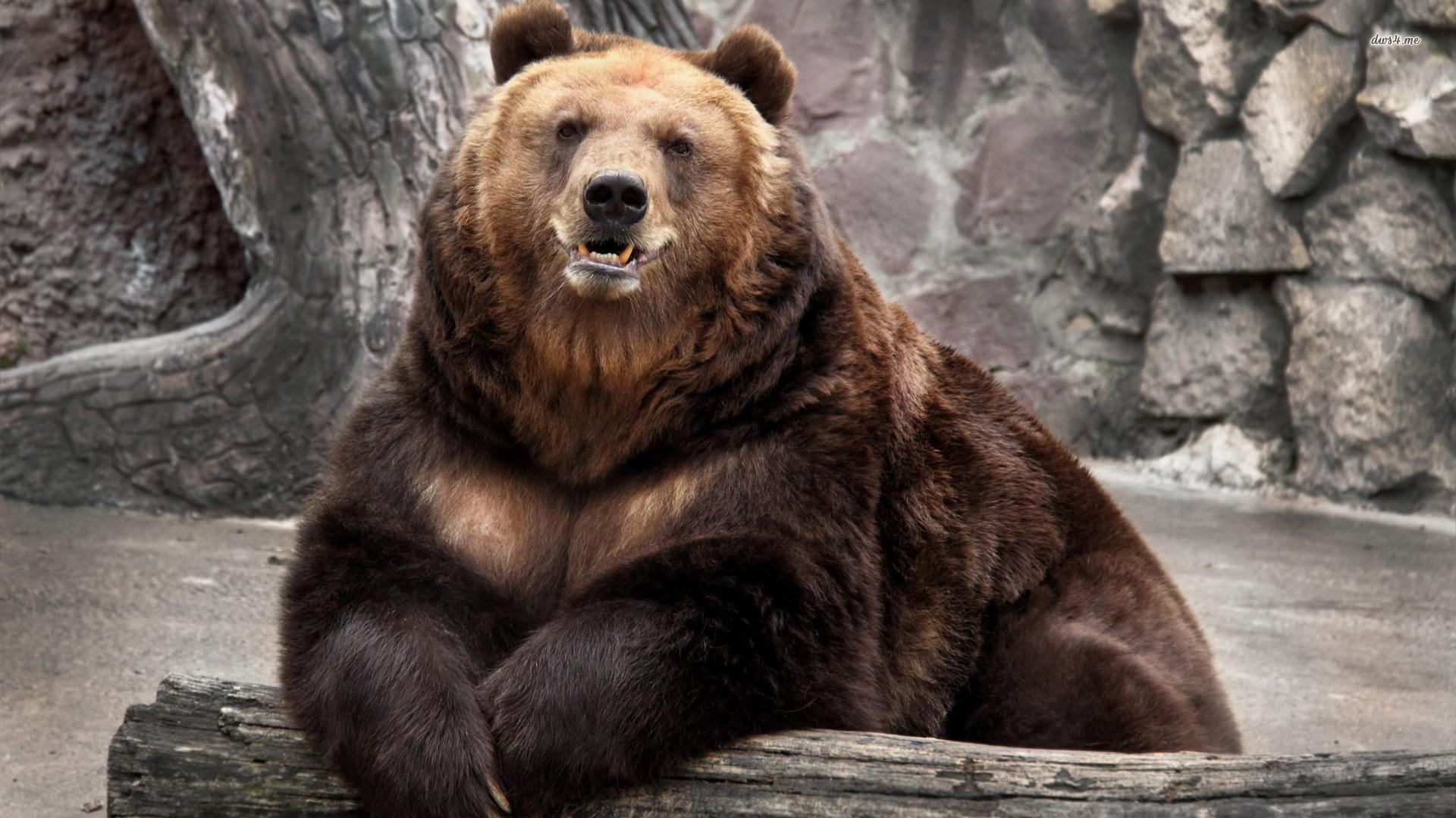 Bear HD Wallpapers Backgrounds Wallpaper