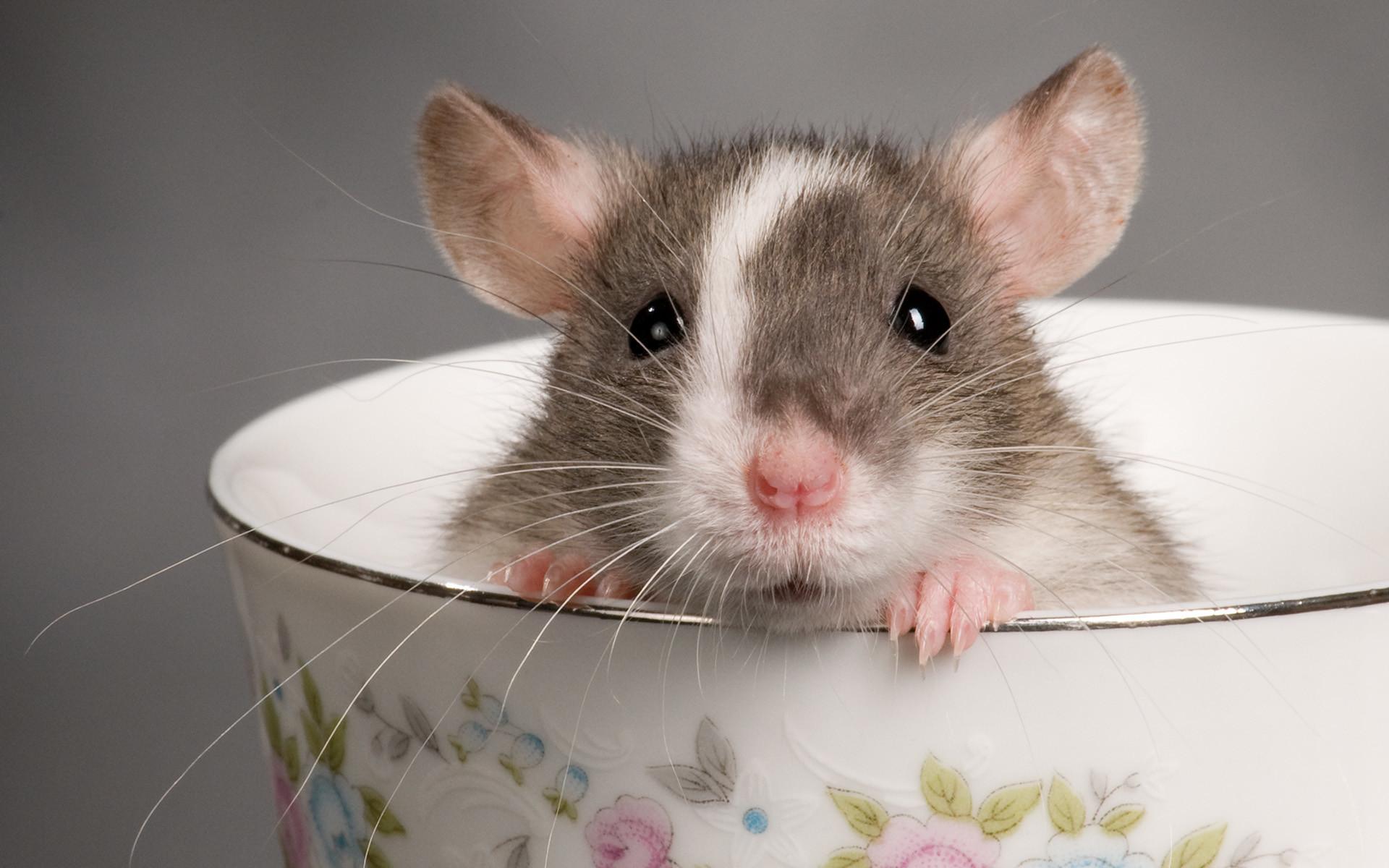 image mort aux rats …